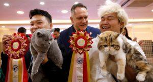 هانوي تستضيف أول مهرجان للقطط الأصلية في فيتنام