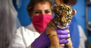 """إطلاق اسم """"كوفيد"""" على صغير نمر في حديقة مكسيكية"""